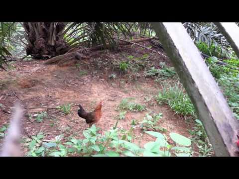 Ayam Hutan Denak Betina Raski Mata - Warisan video