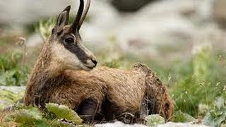 Chamois hunting  in Austria