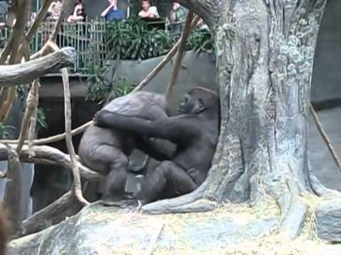 Gorilla - YTVIDEO - лучшее видео. Скачать бесплатно!