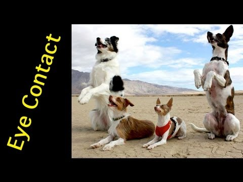 0 How to train a dog to pay attention   eye contact   clicker dog training
