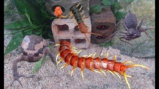 Hành Trình Đi Bắt Con Rết Khổng Lồ Trong Đống Gạch Bỏ Hoang .Catch Giant Centipede .Động Vật