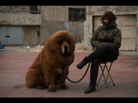 Chinese Zoo Dog Lion Plus more Pictures of Dog Lions 犬ライオン 狗獅子 狗狮子