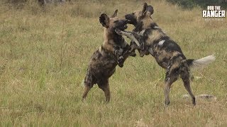 African Wild Dogs Playing In The Sun
