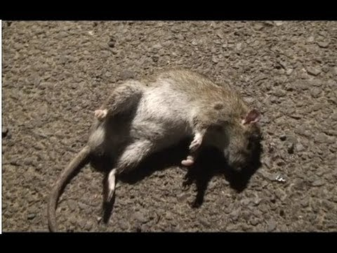 Air Rifle Ratting - One Tough Rat