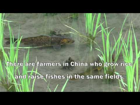 China: Growing rice, raising fish for food and livelihood security