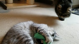Maine Coon loves her new Toy, but she is not the only one / Kitten vs. Cat ;)