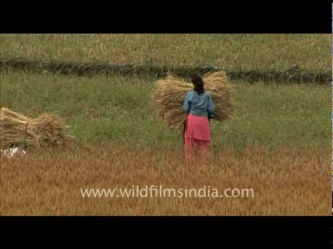Women harvesting wheat in India