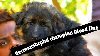 Longcoat German shepherd puppy champion line male45000/- #petsvilla 9657686566
