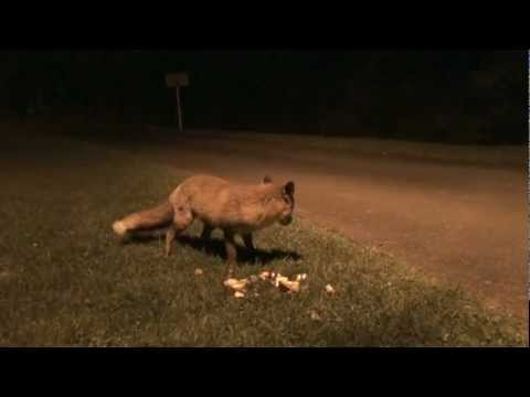 URBAN FOXES IN PLYMOUTH - LEIGHAM
