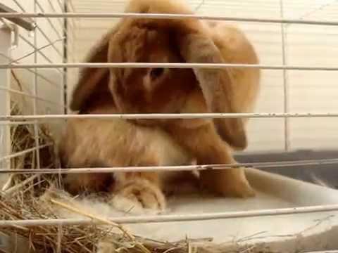 Декоративный кролик рвет пух с боков - YouTube