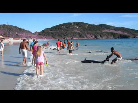 filmed by Gerd Traue, Copyright Gerd Traue About 30 Dolphins stranded and saved by local people at Arraial do Cabo (Brazil) in the morning at 8:00 AM on Marc...