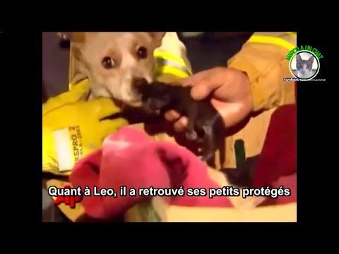 Ce chien a risqué sa vie pour sauver quatre chatons ! Une histoire bouleversante !