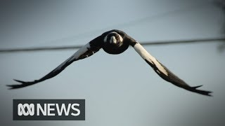 Cyclist dies while fleeing swooping magpie | ABC News