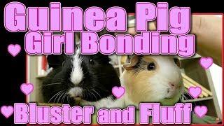 Guinea Pig Girl Bonding - Bluster and Fluff