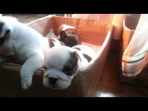 Bulldog & FrenchBulldog #183 ブルドッグ&フレンチブルドッグ子犬販売