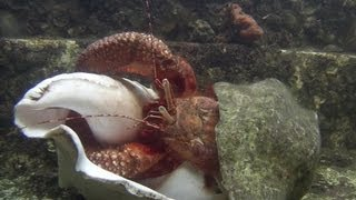 Giant Hermit Crab Changing Shells - Documentary Short - 1080p