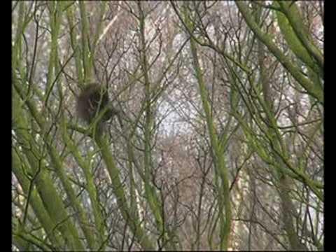 lustig flei iges eichh rnchen im ruhrgebiet beim nestbau funny keen squirrel youtube. Black Bedroom Furniture Sets. Home Design Ideas