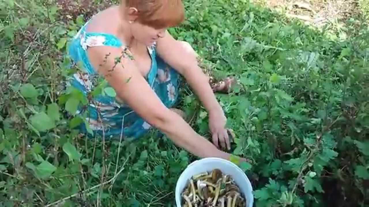 Грибы в огороде выращивание отзывы 66