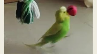Budgie with dribbling skill | Pedro Video #19 | Liz Kreate