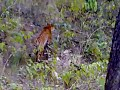 Tiger in front of us in Jim Corbett