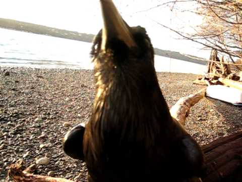 This Raven's Vocal Impressions Are A Little Too