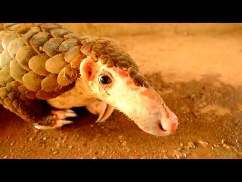 Thai wildlife: Pangolin (scaly anteater) Endangered species saved from dogs - buriram - Thailand