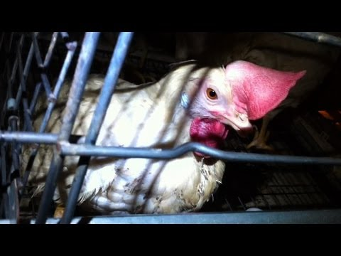 Extreme Cruelty Exposed at Major Egg Factory