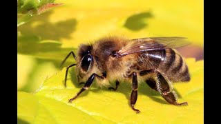 MIRACLES OF THE QUR'AN.THE FEMALE HONEY BEE.(www.harunyahya.com)