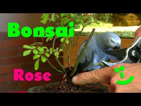 Bonsai Rose In Eine Schale Pflanzen