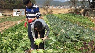 Cuộc sống ở Hàn Quốc: Mùa làm kim chi phần 1 [Lên rẫy nhổ cải thảo].김장,밭에 가서 배추 뽑기.
