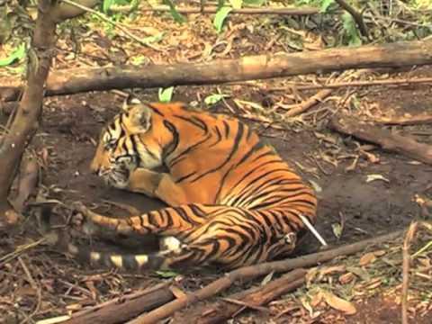 A lenta agonia de um tigre de Sumatra