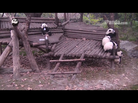 Keeper feeding panda cubs bottled milk Part 2