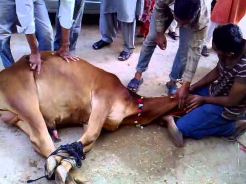 Qurbani Ka Janwar http://www.oonly.com/download/janwar--video-2.html