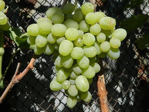 Виноград сорт новый подарок 29
