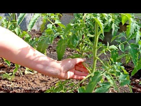 Видео как обрезать помидоры