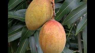 Growing Mango 'Pickering' in Containers - How to Grow Mangos