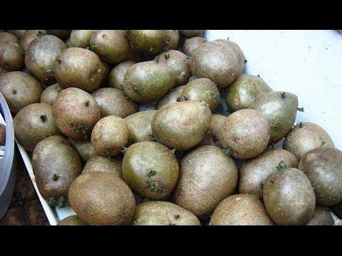Супер ранний картофель.  Технология