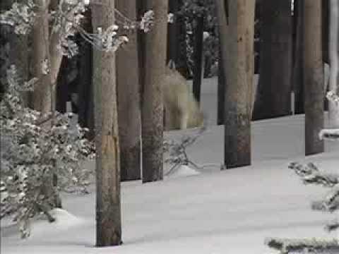 Yellowstone National Park 2004 - Wolf sighting
