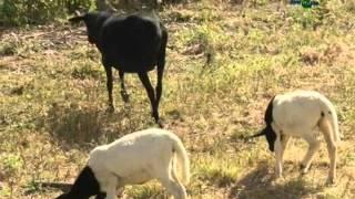 Frutiovinocultura : Junção entre criação de ovinos e cultivo de fruteiras