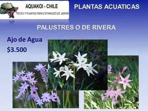 peces koi flor de loto y otras plantas acuaticas para