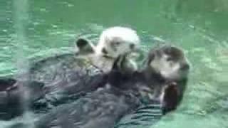 Ternura: Dos nutrias nadan sujetándose de las manos
