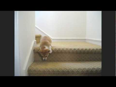 Corgi Puppy Tackles the Stairs