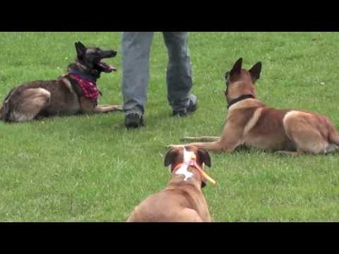 Protection Training with 2 Belgian Malinois's & 1 Pitbull!