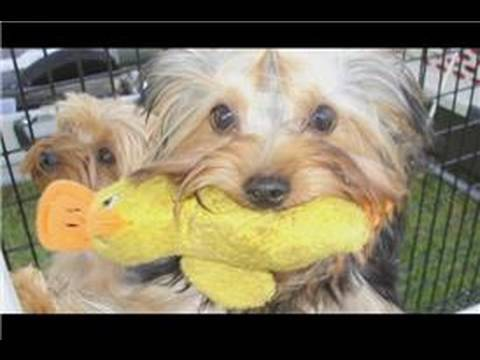 Small Dog Breed Care : How to Care for a Yorkshire Terrier