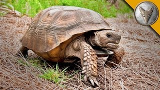On the Lookout for the Mighty Gopher Tortoise!