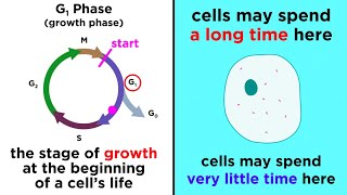 The Cell Cycle and its Regulation