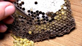 Yellow Jacket Nest Larvae tweezing Compilation ASMR