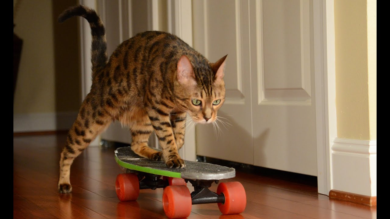 Cat On A Skateboard Gif