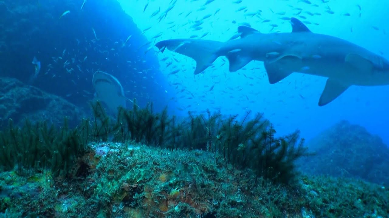 Wolf Rock. Diving with Grey Nurse Sharks - YouTube
