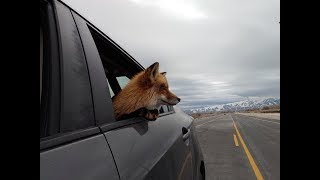 Driving around with Charlie (My pet fox loves car rides!)